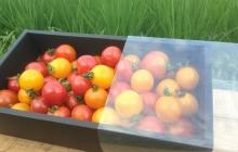 夏野菜の出荷と、自然からの様々な影響