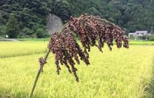 雑穀の収穫です!