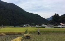 今年も稲刈りの季節です