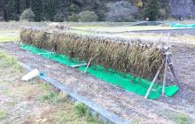 大豆の収穫