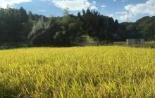 稲刈り・プロローグ