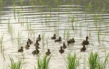 合鴨農法とブランド米のルール