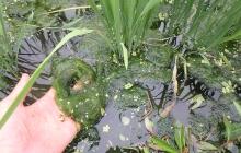 有機稲作の雑草対策あれこれ その1