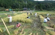 「マイ米田んぼ」の稲刈り