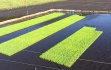 水稲の育苗法