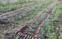 玉ねぎの収穫と乾燥