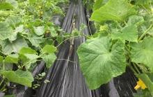 夏野菜の収穫まであと少し