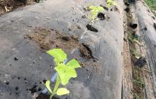 自然栽培メロンの二期作開始!