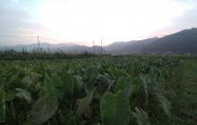 はまちえ農園 園主のリアルな一日のスケジュールと伏見甘長とうがらしの栽培のこと~高温を避けるために藁を敷く、液肥を葉面散布~