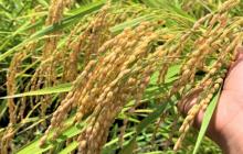 段取りが米の品質に直結する理由 ~無駄のない美しい動きの裏にあるもの〜