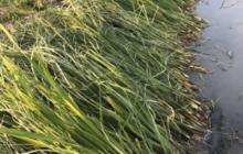品目を増やすということについて(2)「マコモダケ」栽培の話