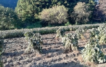 大豆収穫しました