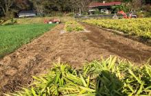 自然栽培 生姜の収穫