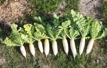 自家採種 育種と育土
