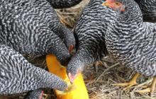 平飼い養鶏と夏野菜栽培